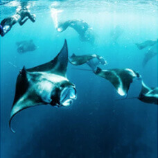 snorkeling diving mantaray activity
