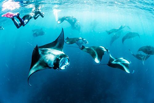 snorkeling diving mantaray activity